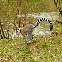Un Maki Catta sautant dans l'herbe au parc animalier Le PAL en Auvergne