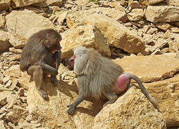 Deux Hamadryas sur des rochers au parc animalier Le PAL en Auvergne