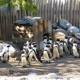Groupe de Manchots du Cap au parc animalier Le PAL dans l'Allier