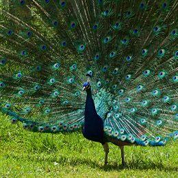 Un paon bleu qui fait la roue avec ses plumes au zoo Le PAL