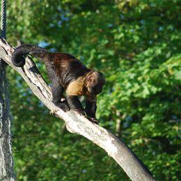 Un Capucin à poitrine jaune descendant d'un arbre au parc animalier Le PAL