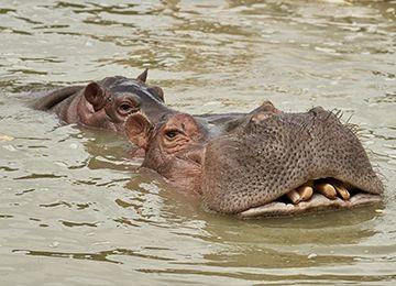 Deux hippopotames à la surface de l'eau au zoo Le PAL