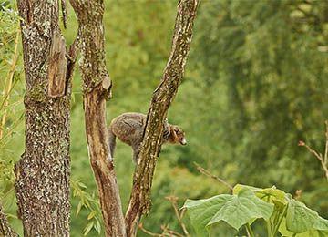 Vue sur un Lémur à collier blanc  dans un arbre au parc animalier d'Auvergne