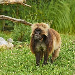 Un Gélada dans l'herbe au par animalier Le PAL dans l'Allier