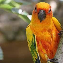 Gros plan sur une Conure soleil et son plumage coloré au zoo Le PAL