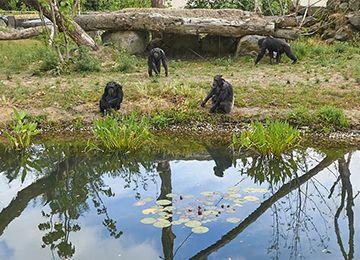 Quatre chimpanzé au parc animalier Le PAL