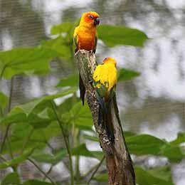 Vue sur deux Conures soleil perchées dans un arbre au parc animalier Le PAL