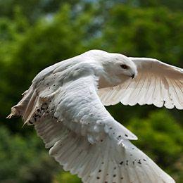 Un Harfang des neiges en plein vol au parc animalier Le PAL dans l'Allier