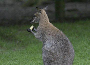 Wallaby de Bennett qui mange un fruit au zoo Le PAL en Auvergne