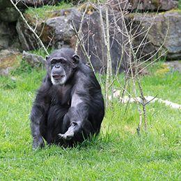 Un chimpanzé tendant le bras au caméraman au zoo Le PAL