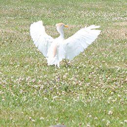 Un Héron Garde Bœuf agitant ses ailes au parc animalier Le PAL