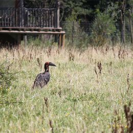 Vue sur un Calao terrestre de Leadbeater dans les hautes herbes au zoo Le PAL