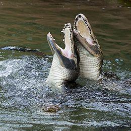 Deux alligators dans l'eau au parc animalier Le Pal