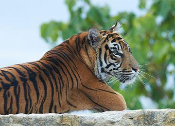 Un tigre allongé sur un pierre au parc animalier Le PAL