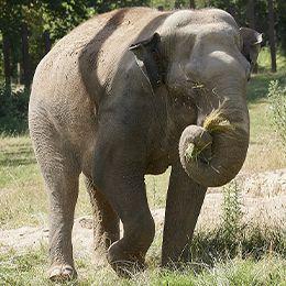 Un éléphant mangeant de l'herbe au parc animalier Le PAL