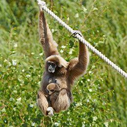 Gibbon à mains blanches suspendu à une corde au zoo Le PAL en Auvergne