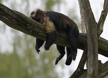 Un Capucin à poitrine jaune dormant sur la branche d'un arbre au zoo Le PAL dans l'Allier