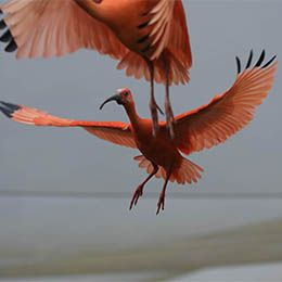 Deux  Ibis rouge en plein vol au parc animalier Le PAL