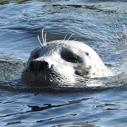 Gros plan sur la tête d'un phoque veau marine train de nager au zoo Le PAL