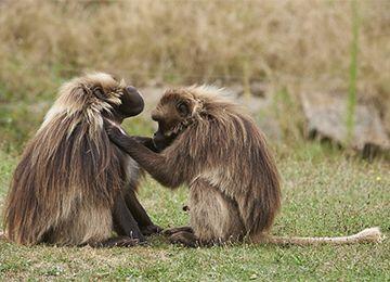 Deux Géladas se touchants au parc animalier Le PAL en Auvergne