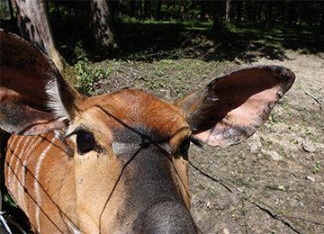 Un gros plans sur les oreilles et les yeux d'un Nyala au zoo Le PAL en Auvergne