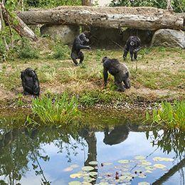 Quatre chimpanzés au parc animalier Le PAL