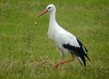 Une cigogne blanche marchant dans l'herbe au zoo Le PAL