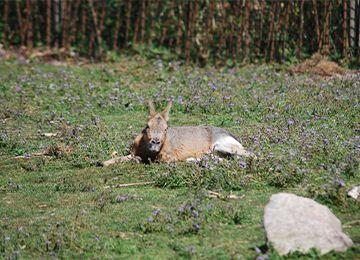 Un mara allongé sur l'herbe au parc animalier Le PAL