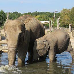 Deux éléphants dans l'eau au parc animalier Le PAL