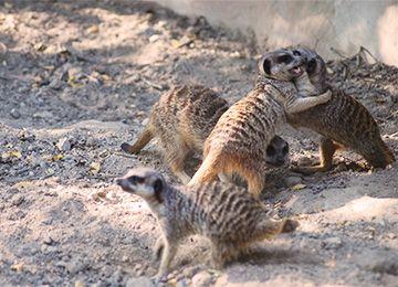 Quatre suricates au zoo Le pal