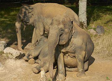 Trois éléphants au parc animalier Le PAL