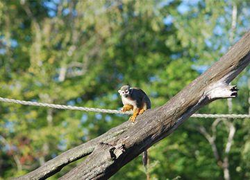 Un Saïmiri jaune se tenant à une corde au parc animalier Le PAL