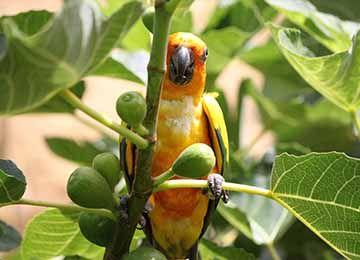 Vue sur une Conure soleil dans un arbre fruitier au par animalier Le PAL