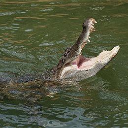 La gueule et les dents de l'alligator au zoo du PAL
