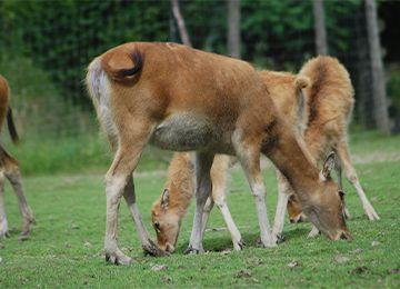 Petits cerfs du père David qui broutent de l'herbe au parc animalier Le PAL
