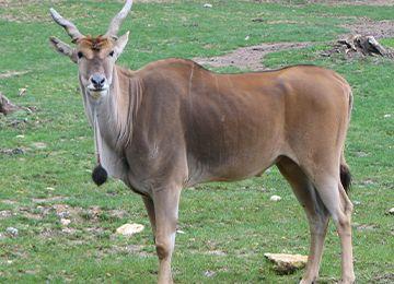 Vue sur un éland du Cap au parc animalier Le PAL