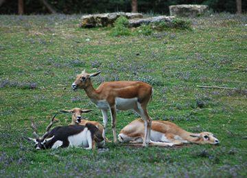 Vue sur des cobes de Lechwe allongés, dont un debout dans l'herbe au parc animalier Le PAL
