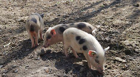 Miniature pig from Göttingen