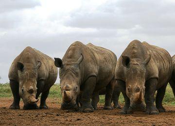 Trois rhinocéros blancs aux cornes importantes au parc animalier Le PAL