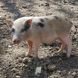 Petit cochon nain aux taches noires au parc animalier Le PAL dans l'Allier
