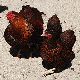 Gros plan sur deux poules  Wyandottes aux jolis plumages au parc animalier Le PAL au cœur de l'Allier