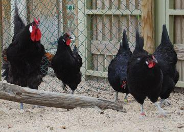 Poules de la Flèche au parc animalier Le PAL
