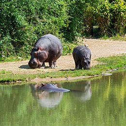 Hippopotames sur la berge du lac africain du parc animalier Le PAL