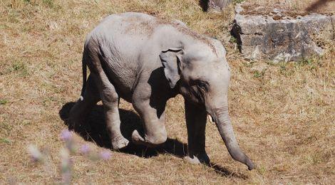 Tom, our Asian elephant
