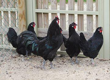 Cinq poules de la Flèche dans leur enclos au parc animalier Le PAL