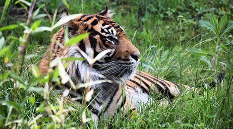 Taru, our Sumatran tiger