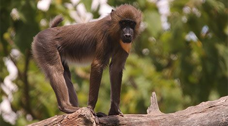 Dyellow, our mandrill
