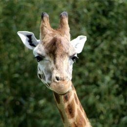 Tête d'Ela, girafe de Rothschild du parc animalier Le PAL en Auvergne