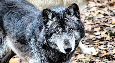 Kenaï, our wolf from Canada