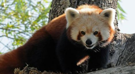 Naoki, our red panda